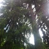 Les séquoias veillent…
