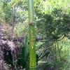 Un Zazou sur un bambou.